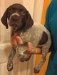 German Shorthaired Pointer Puppy For Sale in SORRENTO, FL, USA