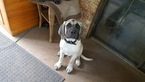 Mastiff Puppy For Sale in MUSKOGEE, OK