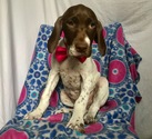 German Shorthaired Pointer Puppy For Sale in EAST EARL, PA,