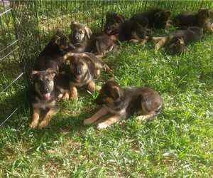 German Shepherd Dog Puppy for sale in INEZ, TX, USA