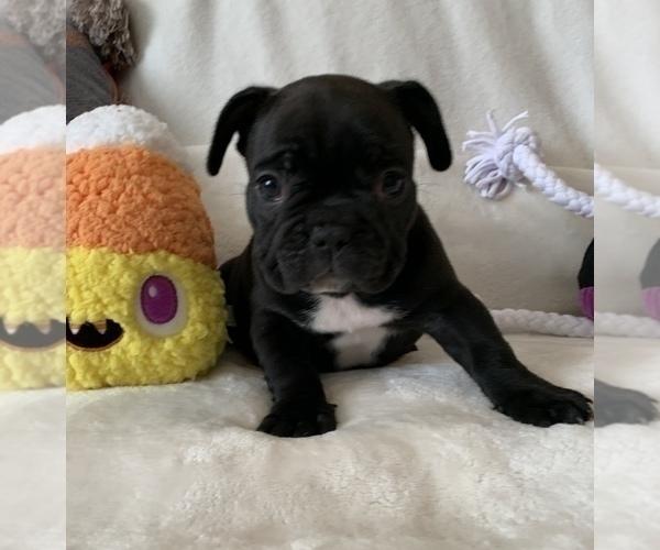 Medium Photo #2 French Bulldog Puppy For Sale in JOHNS ISLAND, SC, USA