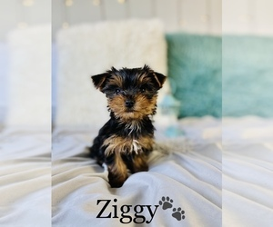 Yorkshire Terrier Puppy for Sale in COOKEVILLE, Tennessee USA