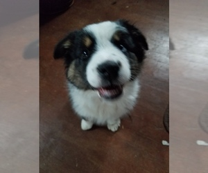 Australian Shepherd Puppy for sale in WILLIAMSBURG, CO, USA