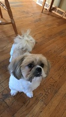 Shih Tzu Dog For Adoption in EAST TAUNTON, MA, USA