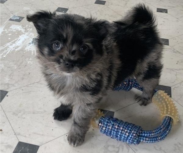 Medium Photo #2 Pomeranian Puppy For Sale in KEAAU, HI, USA