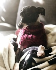 Italian Greyhound Puppy For Sale in DENVER, CO, USA