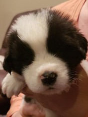 Newfoundland Puppy For Sale in ALSEN, SD, USA