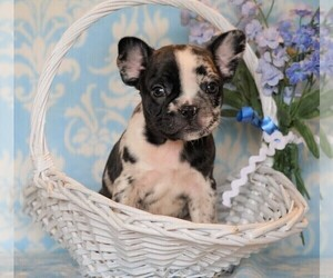 Faux Frenchbo Bulldog Puppy for sale in FREDERICKSBG, OH, USA