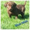 Labrador Retriever Puppy For Sale in PHOENIX, AZ