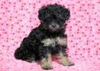 Poochon Puppy For Sale in MOUNT JOY, PA, USA