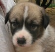 Central Asian Shepherd Dog Puppy For Sale in HEREFORD, AZ, USA