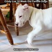 Small Photo #104 Dogo Argentino Puppy For Sale in PINEVILLE, MO, USA