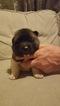 Akita Puppy For Sale in HUTCHINSON, MN, USA