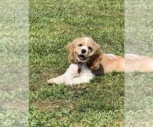 Cocker Spaniel Puppy for sale in ROSSVILLE, GA, USA