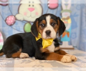 Beagle Puppy for sale in LANCASTER, PA, USA