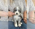 Puppy 7 F2 Aussiedoodle