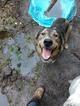 Goberian Dog For Adoption near 27828, Farmville, NC, USA