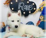 Puppy 10 Siberian Husky
