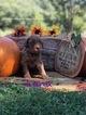 Australian Labradoodle Puppy For Sale in WACO, TX,