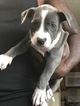 American Pit Bull Terrier Puppy For Sale in SUFFOLK, VA, USA