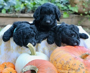 Apalachee Black Pearl first litter