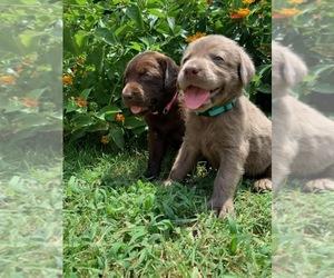 Labrador Retriever Puppy for Sale in FORT TOWSON, Oklahoma USA