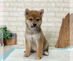 Small #6 Shiba Inu
