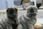 Caucasian Shepherd Dog Puppy For Sale in LANCASTER, MO, USA