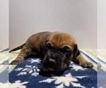 Presa Canario Puppy For Sale in ATL, GA, USA
