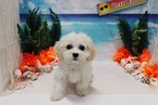 Cavapoo Puppy For Sale in LAS VEGAS, NV, USA
