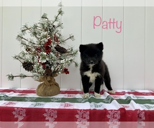 Pomsky Puppy for Sale in MILLERSBURG, Indiana USA