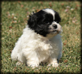 Shih Tzu Puppy For Sale in WAYLAND, IA,