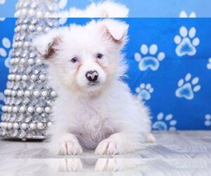 Aussie-Poo Puppy for sale in MARIETTA, GA, USA