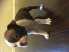 Boston Terrier Puppy For Sale in ATWATER, CA, USA