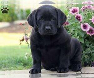 Labrador Retriever Puppy for sale in LANSING, MI, USA