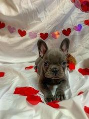 French Bulldog Puppy For Sale in CADDO, OK, USA