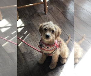 English Cream Golden Retriever-Poodle (Miniature) Mix Puppy for sale in DOSS, MO, USA