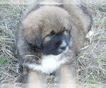 Small #8 Great Pyrenees-Tibetan Mastiff Mix