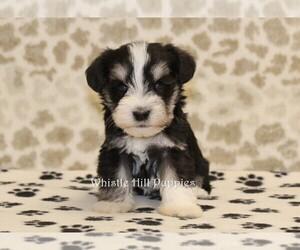Schnauzer (Miniature) Puppy for sale in DENVER, PA, USA