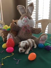 Cavalier King Charles Spaniel Puppy For Sale in MISSION VIEJO, CA
