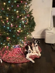 Border Collie Puppy For Sale in BRENTWOOD, CA, USA