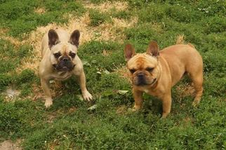 French Bulldog Puppy For Sale in CUMMING, GA, USA