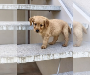 Golden Retriever Puppy for sale in EL PASO, TX, USA