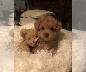 Poodle (Toy) Puppy for Sale in MONTECITO, California USA