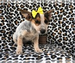 Small #10 Australian Cattle Dog-Jack Russell Terrier Mix
