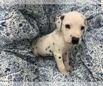 Small #1 Dalmatian