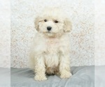 Puppy 4 Maltese-Poodle (Toy) Mix