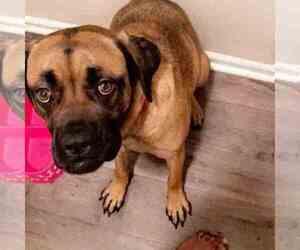 Cane Corso-Mastiff Mix Dog for Adoption in MOORESVILLE, North Carolina USA