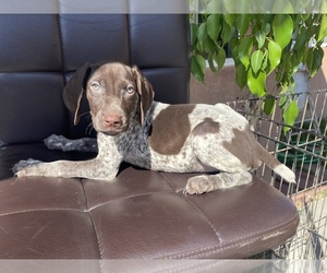 German Shorthaired Pointer Puppy for sale in BELL GARDENS, CA, USA