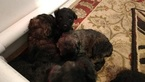 Pure Bred Bouvier Puppies Ready by Christmas